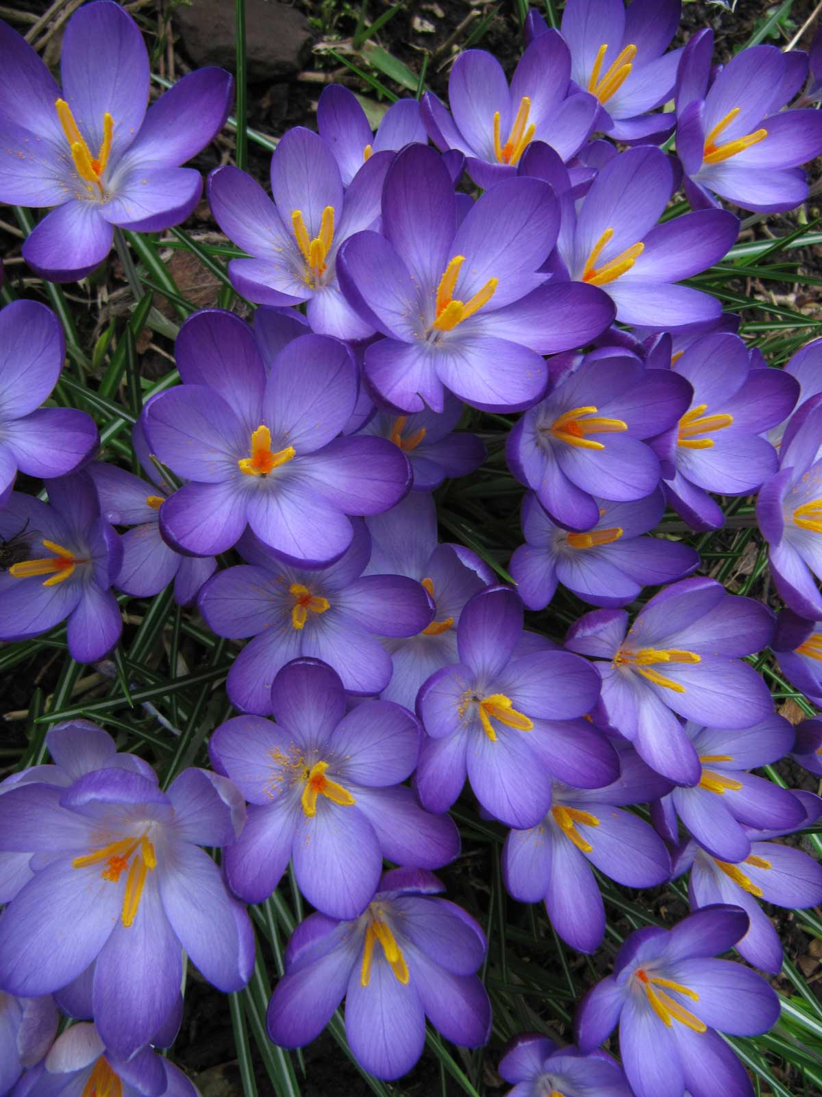 Feb article 2015 Crocuses