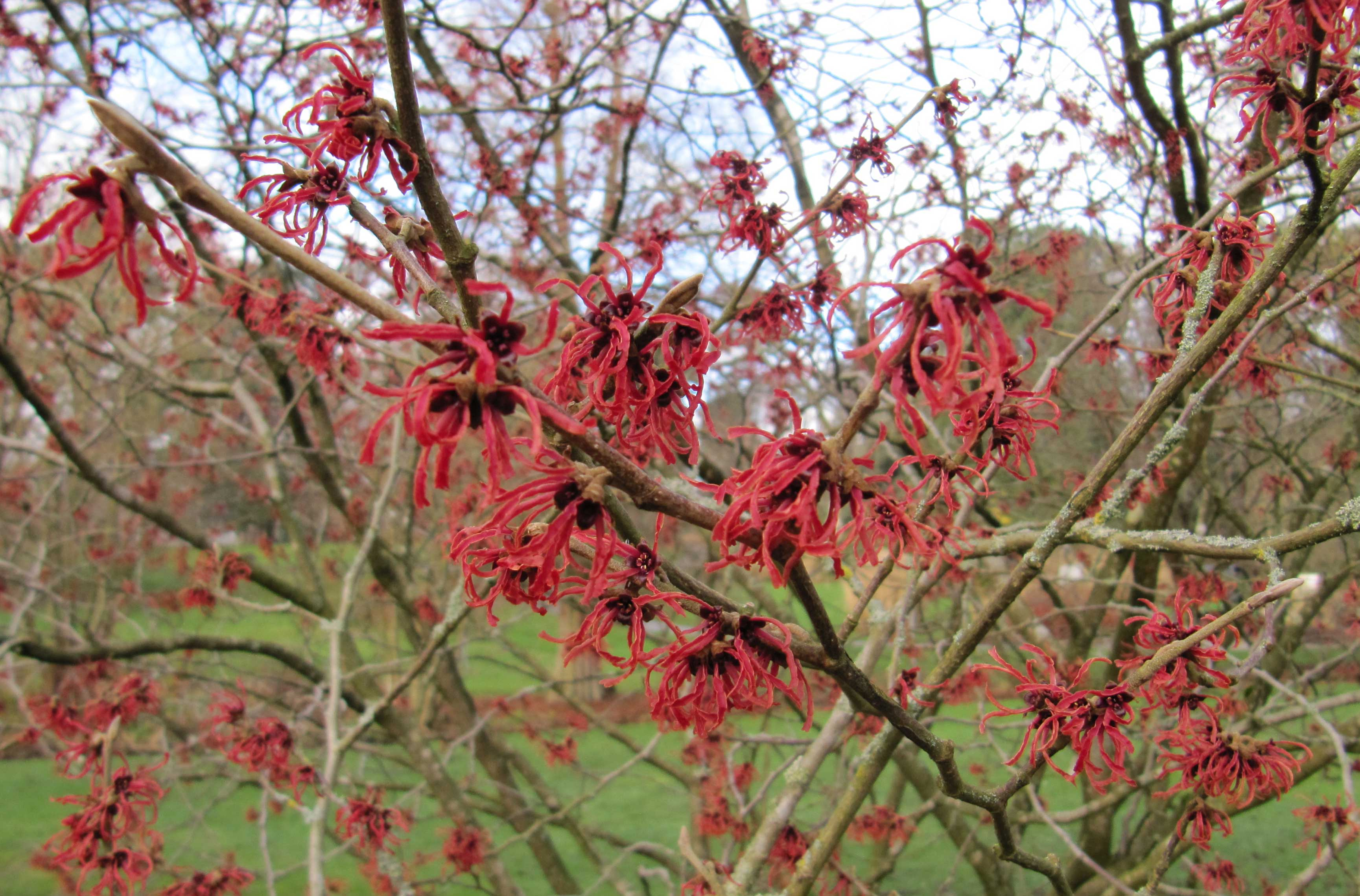 Feb article 2015 Hamamelis
