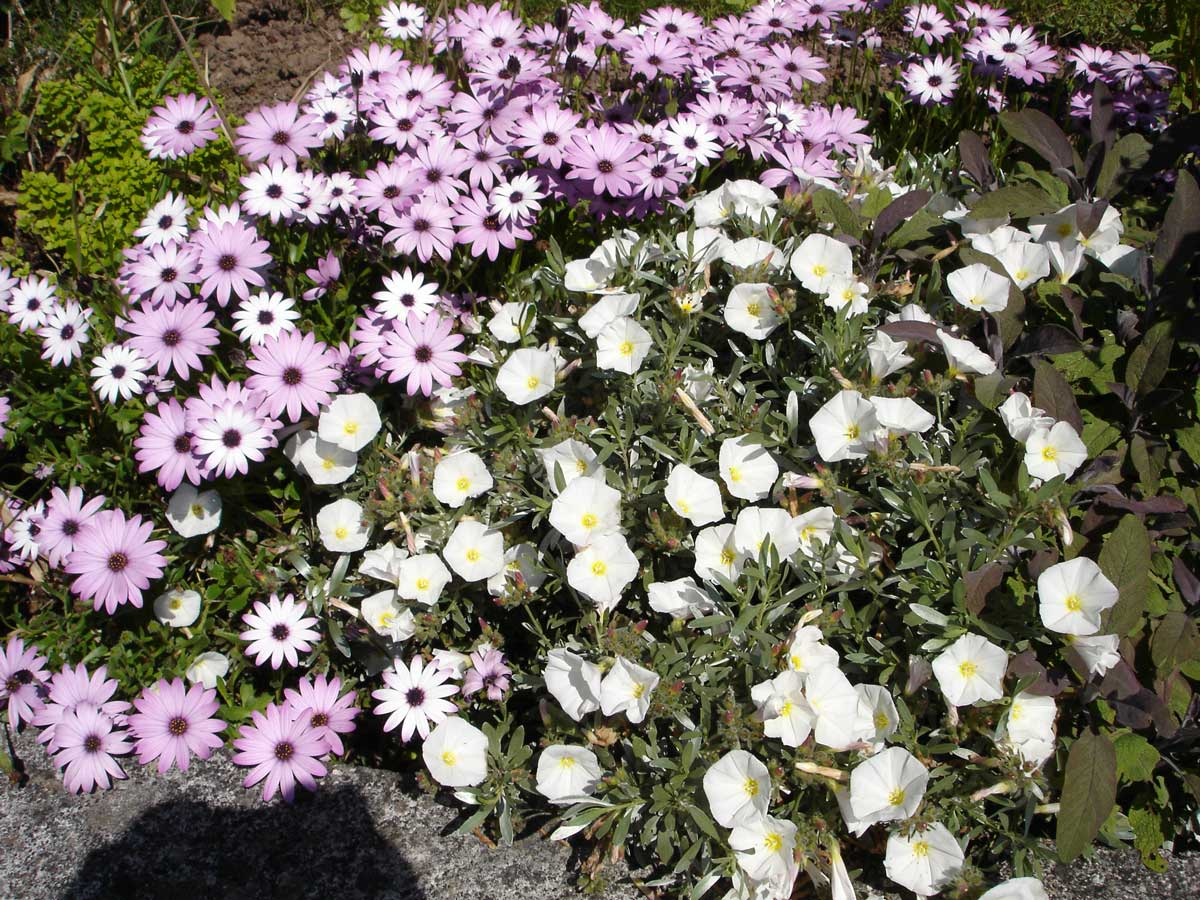 Osteospermum and Convolvulus