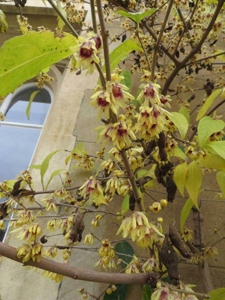 Chimonanthus praecox or Wintersweet