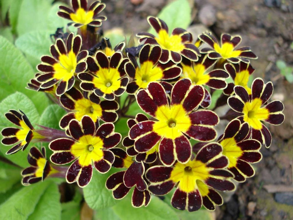 Primula Gold Lace