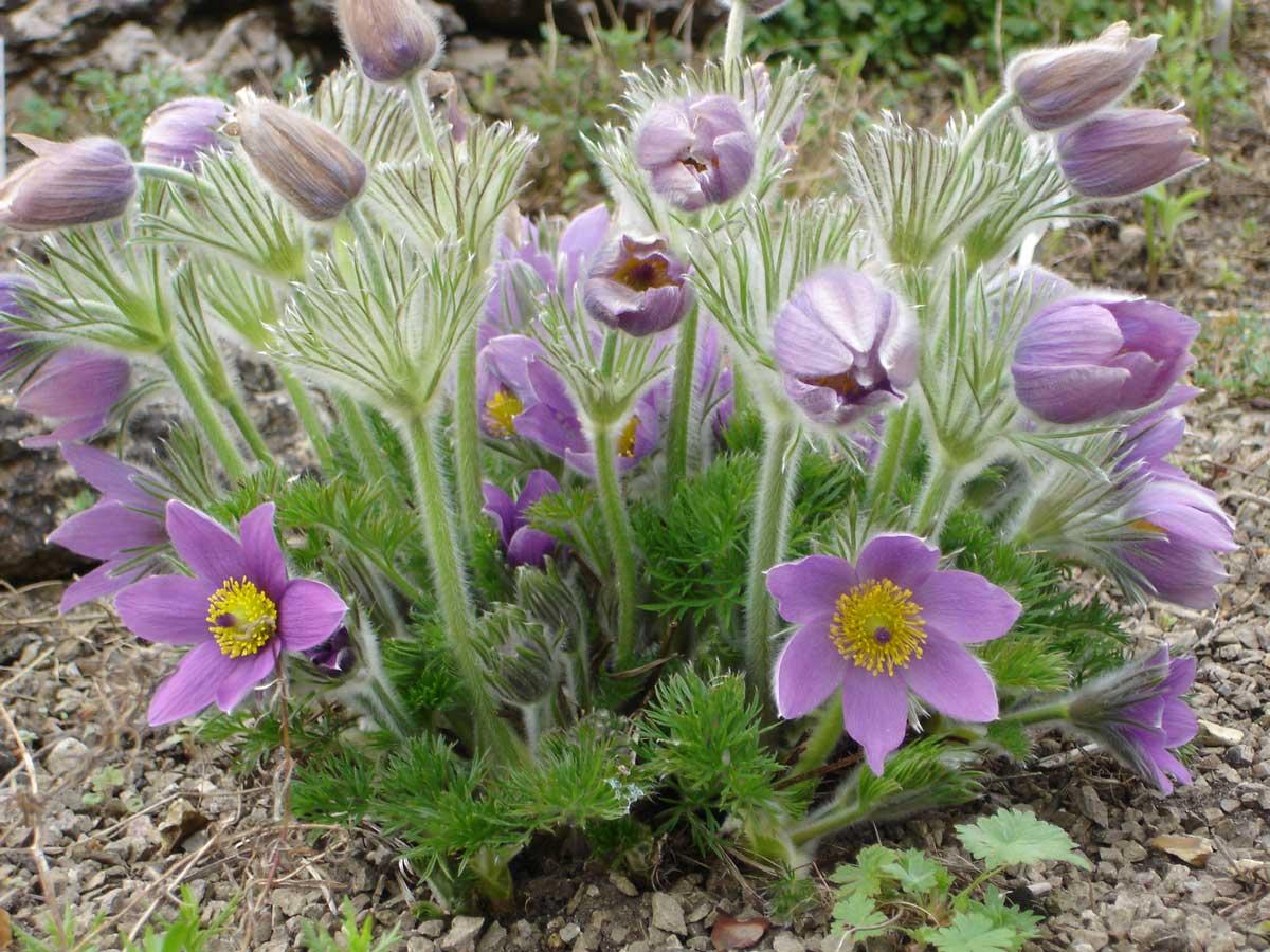 Pulsatilla Pasque flower