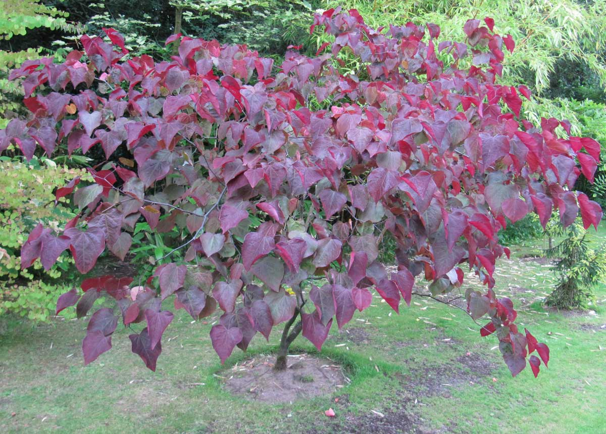 Forest pansy or Cercis canadensis