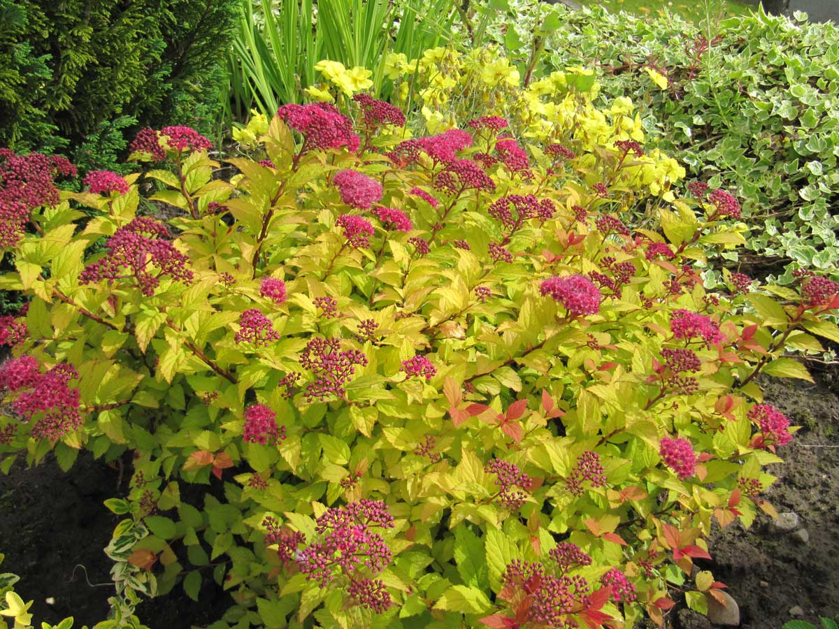 Spirea Golden Princess