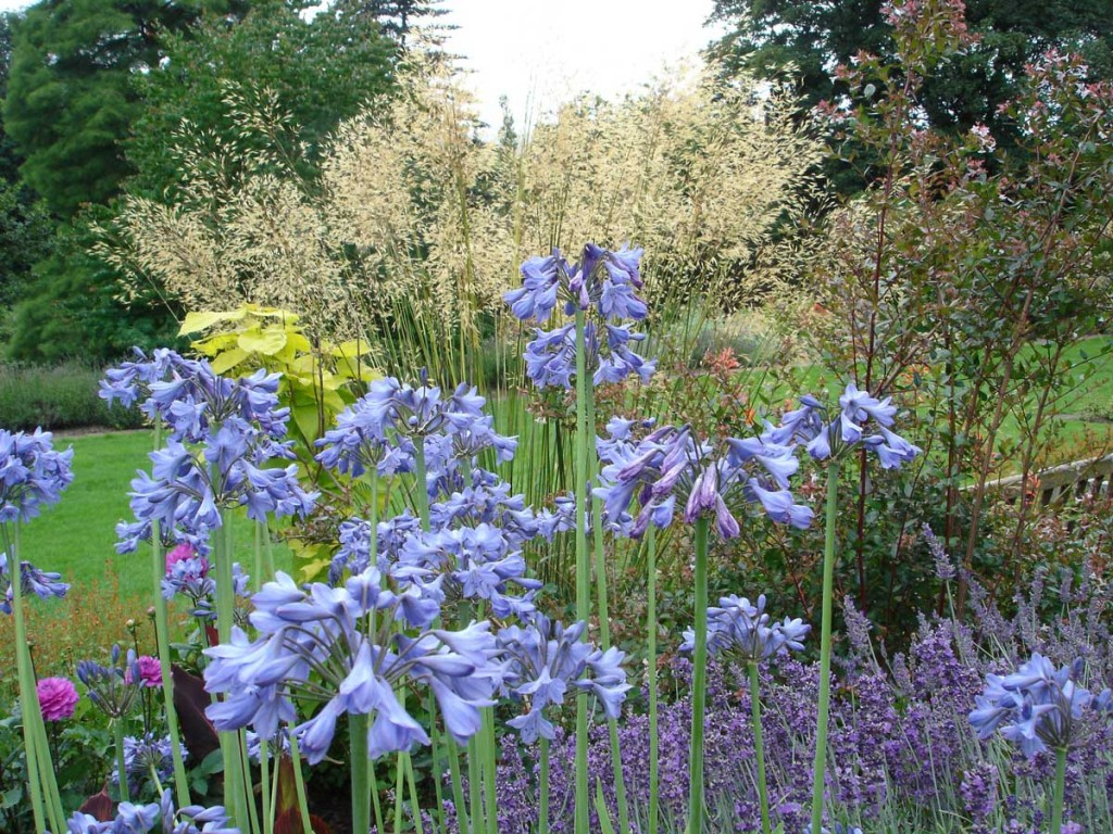 Agapanthus and Atipa
