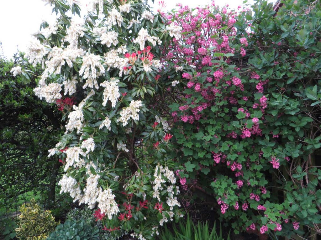 Ribes and Pieris