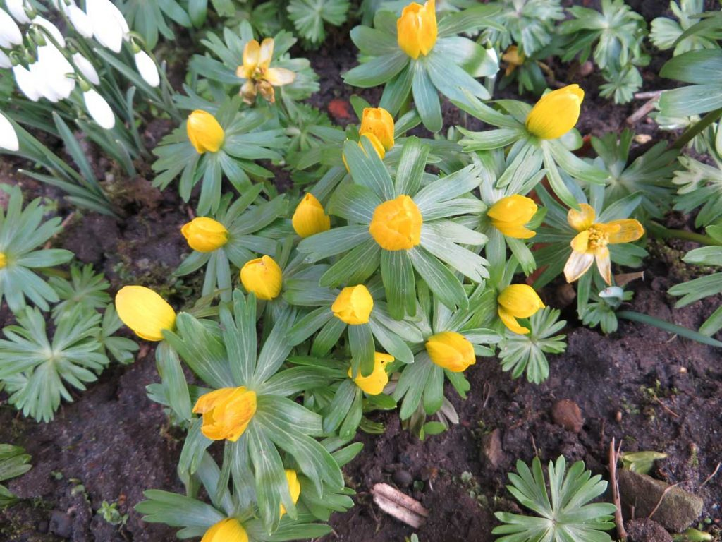 Winter Aconite or Eranthis